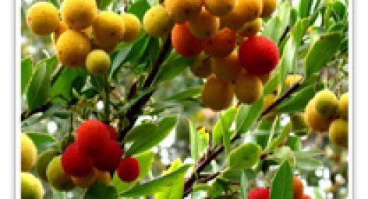 strawberry-tree-std