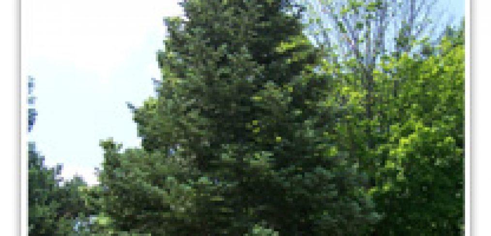 white-fir