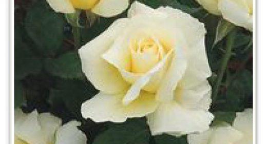 WHITE LICORICE