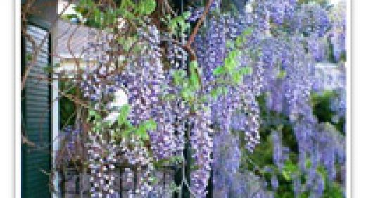 wisteria-blue-chinese