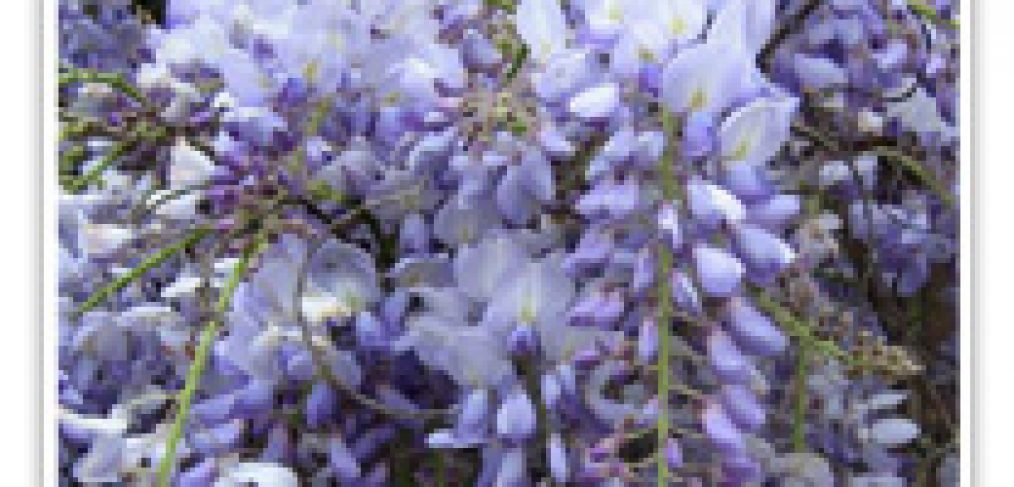 wisteria-cookes-purple-chinese