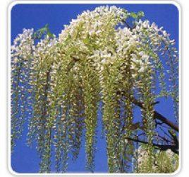wisteria-longissima-alba