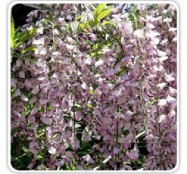 wisteria-pink-chinese