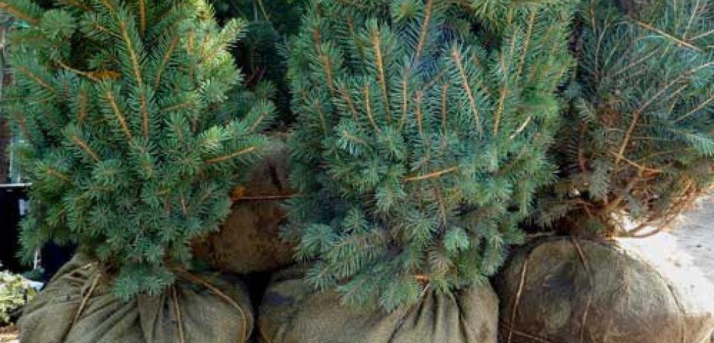 Ball & Burlap Live Christmas Trees!