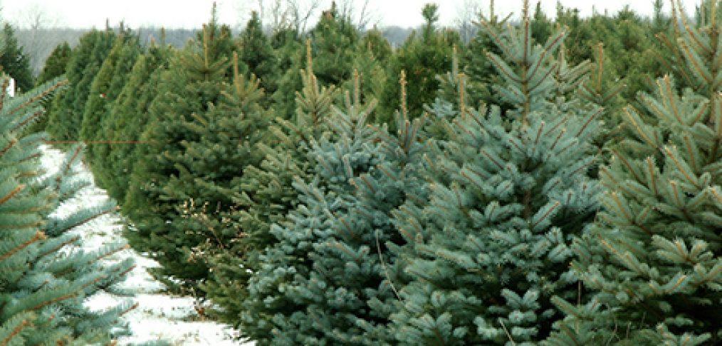 Choosing a Fresh-Cut Christmas Tree