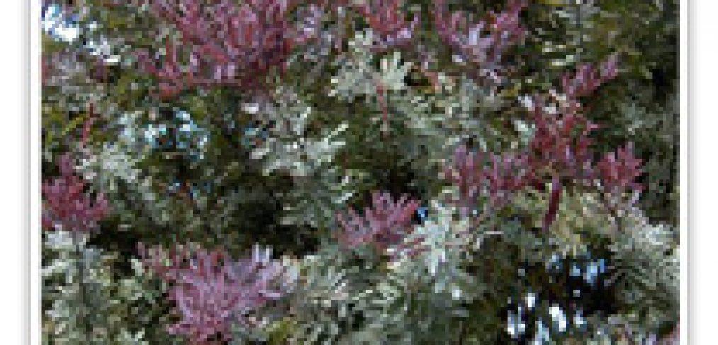acacia-purple-leaf