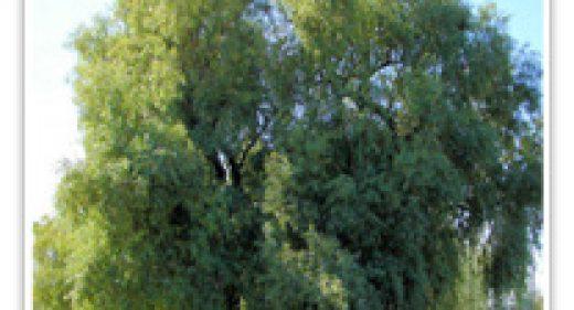 african-sumac