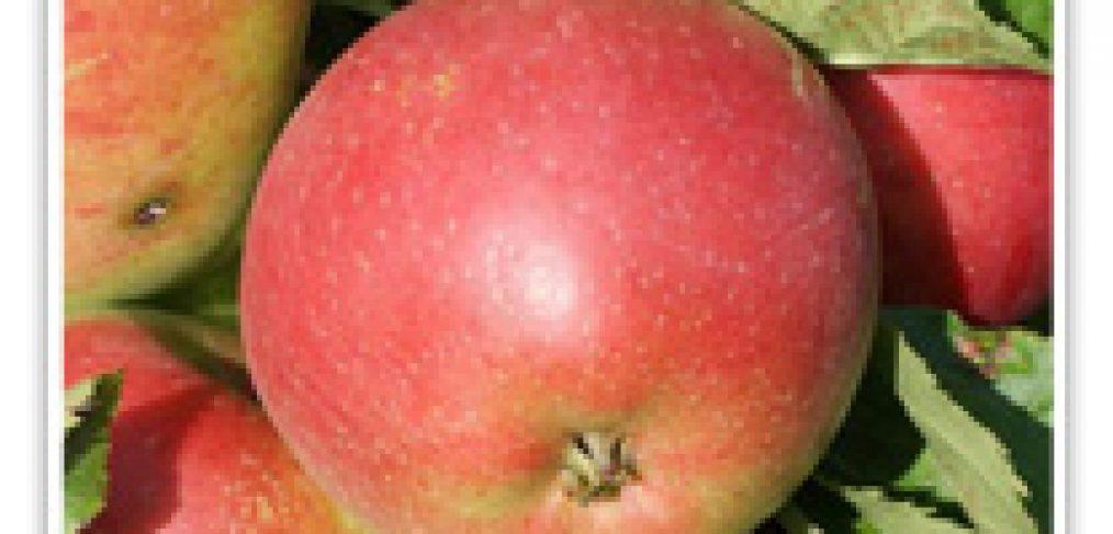 Apple Rome Beauty