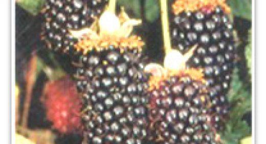 BLACKBERRY SISKIYOU
