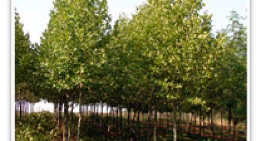 BLOODGOOD LONDON PLANE TREE