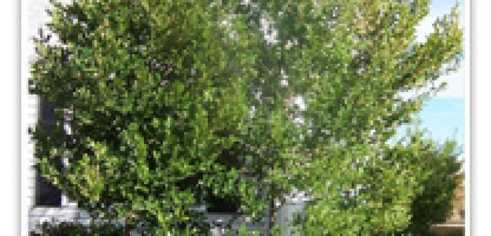 carolinia-cherry