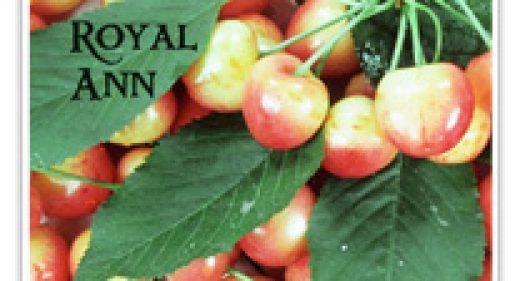 CHERRY ROYAL ANN