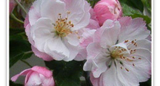 CRABAPPLE FLOWERING KLEHM'S BECHTEL