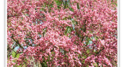 CRABAPPLE HOPA FLOWERING
