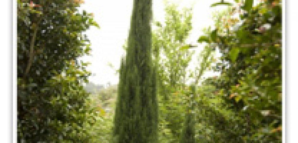 cypress-italian-tiny-tower