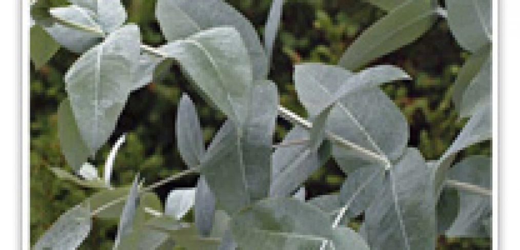 eycalyptus-blue-gum-dwf