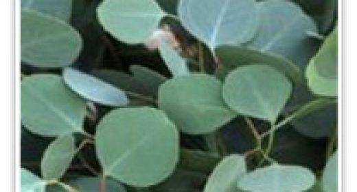 eycalyptus-dollar
