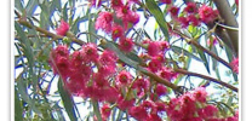 eycalyptus-pink-ironbark
