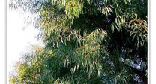 eycalyptus-willowleaf-peppermint