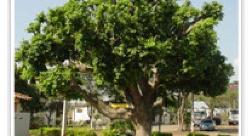 fig-indian-laurel