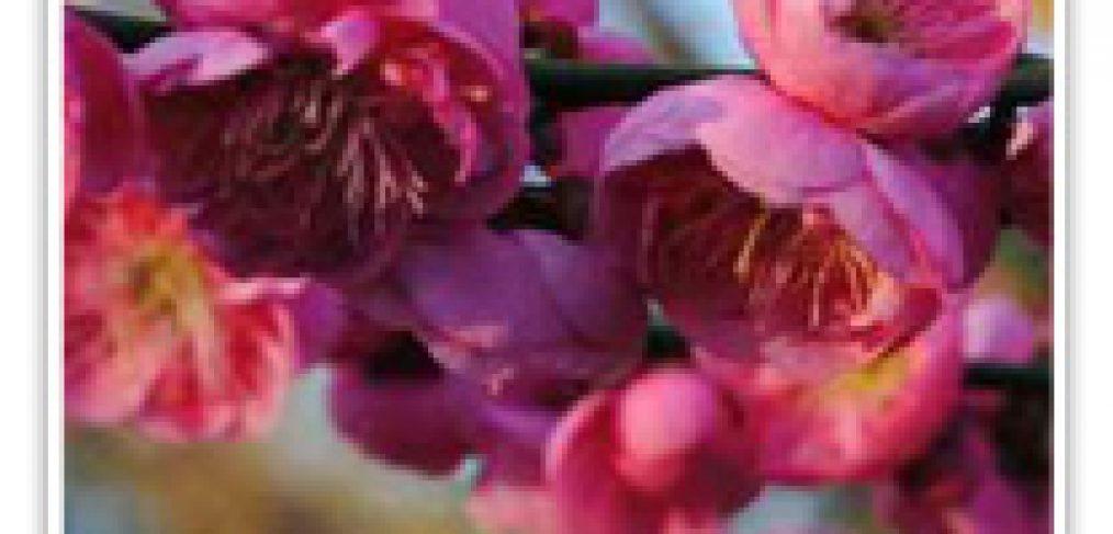 FLOWERING APRICOT DAWN