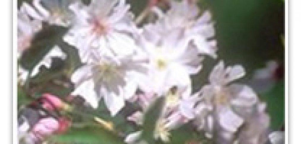 FLOWERING CHERRY AUTUMNALIS