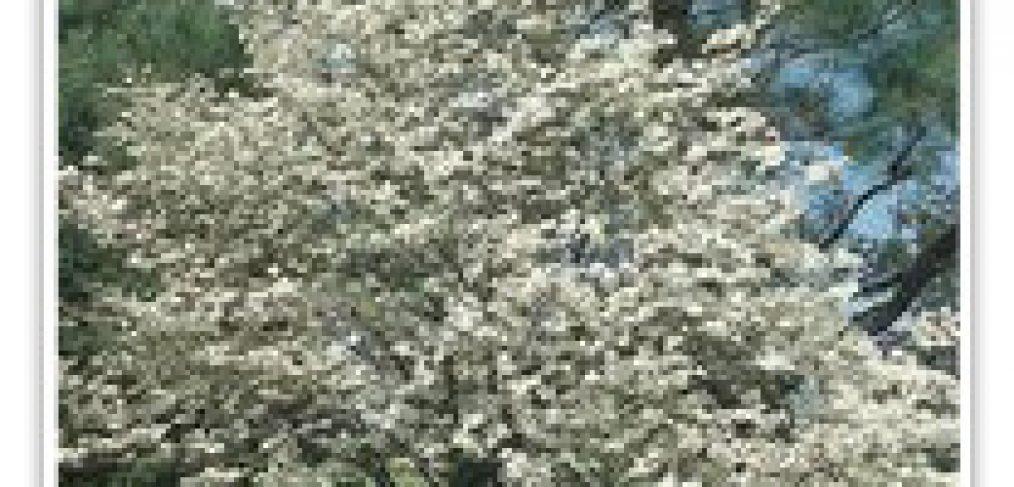 FLOWERING DOGWOOD CLOUD NINE