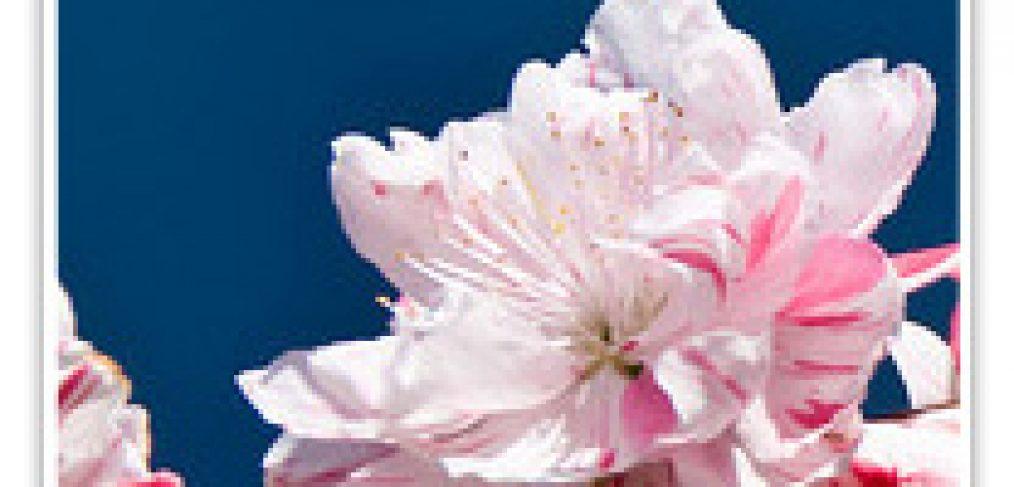 FLOWERING PEACH PEPPERMINT