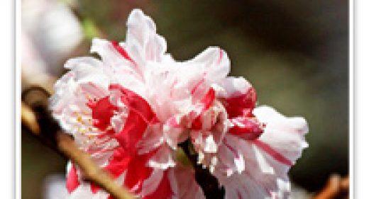 FLOWERING PEACH VARIGATED