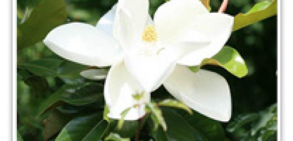 magnolia-samuel-sommer