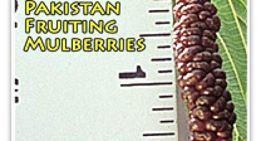 MULBERRY PAKISTAN FRUIT