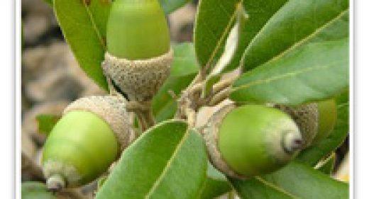 oak-holly