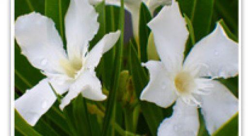 oleander-white