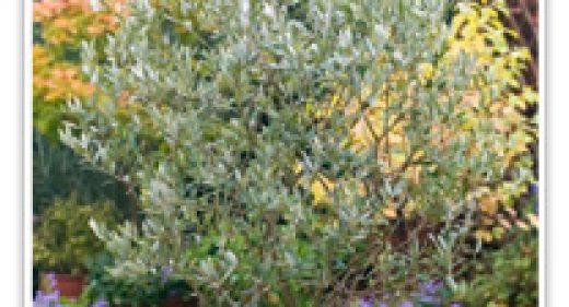 olive-majestic-beauty