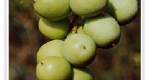 olive-sevillana-fruiting