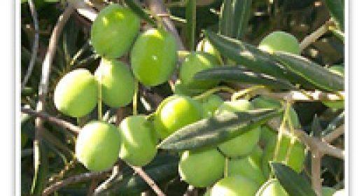 olive-std-tree