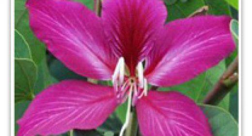 orchid-tree-hongkong