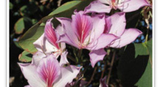 orchid-tree-purple