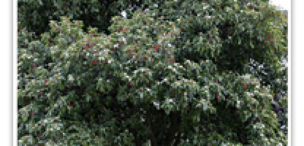 photinia-std-tree