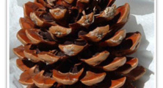 pinus-pinea-cone