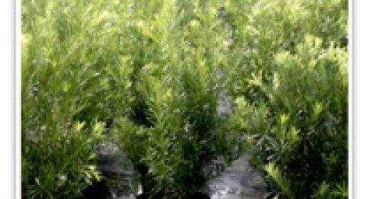 podocarpus-longleaf-yellow