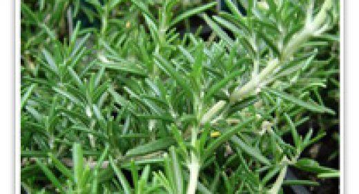 roemarinus-bifi-tuscan