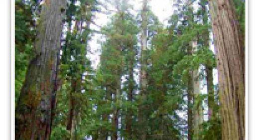 sequoia-semp-emily-brown