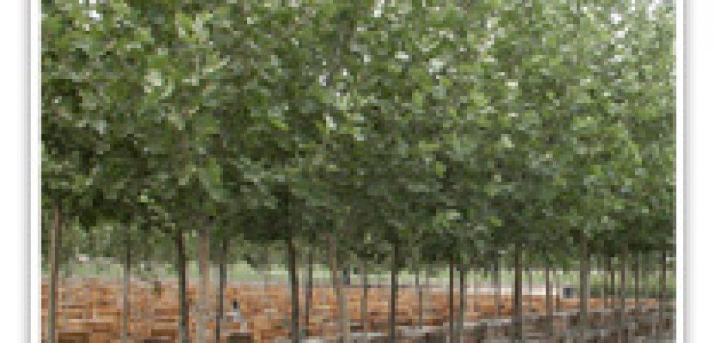 SYCAMORE LONDON PLANE TREE