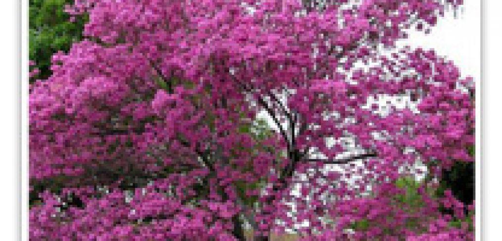 TRUMPET TREE PURPLE