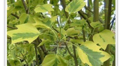 TULIP TREE VARIEGATED