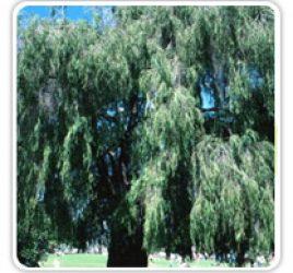 willow-australian
