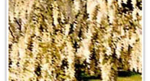 wisteria-white-chinese